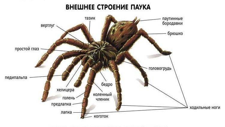 Внешнее строение паука фото