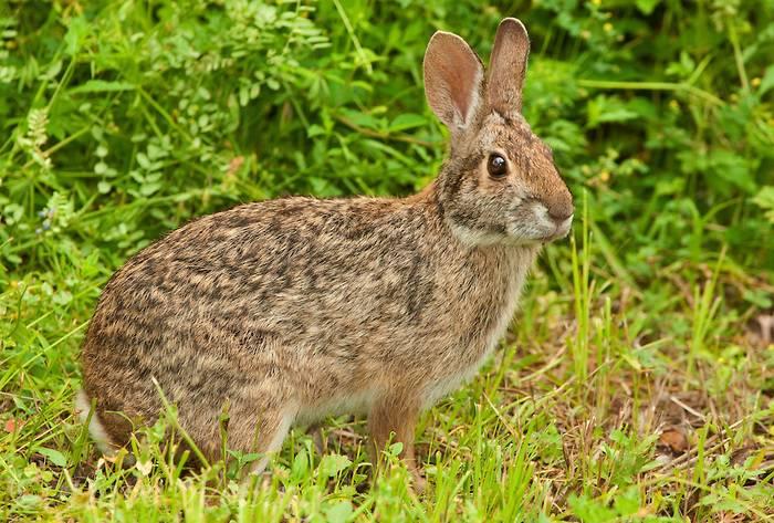 Водяной кролик фото (лат. Sylvilagus aquaticus)