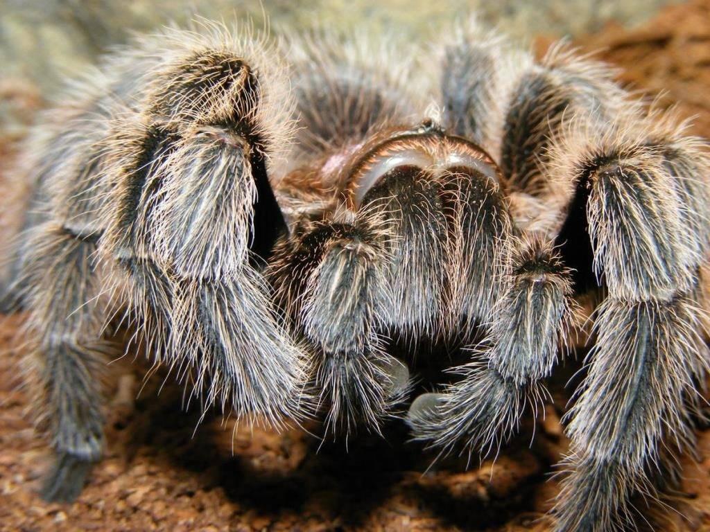 Волоски паука-птицееда фото