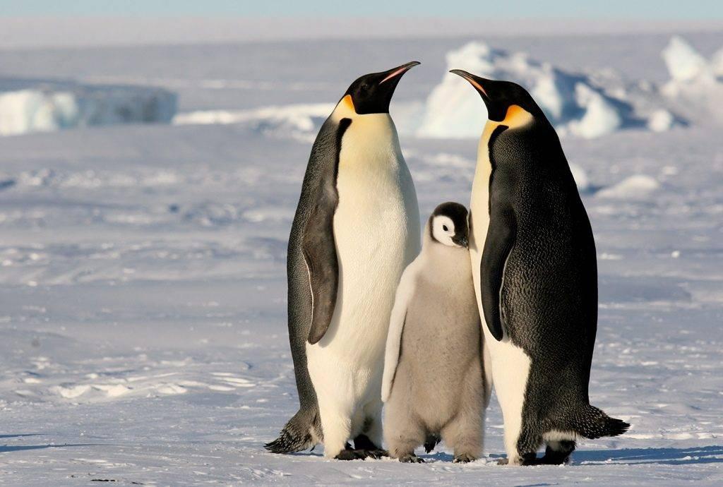 Где живут пингвины фото