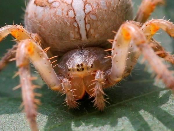 Глаза паука-крестовика фото