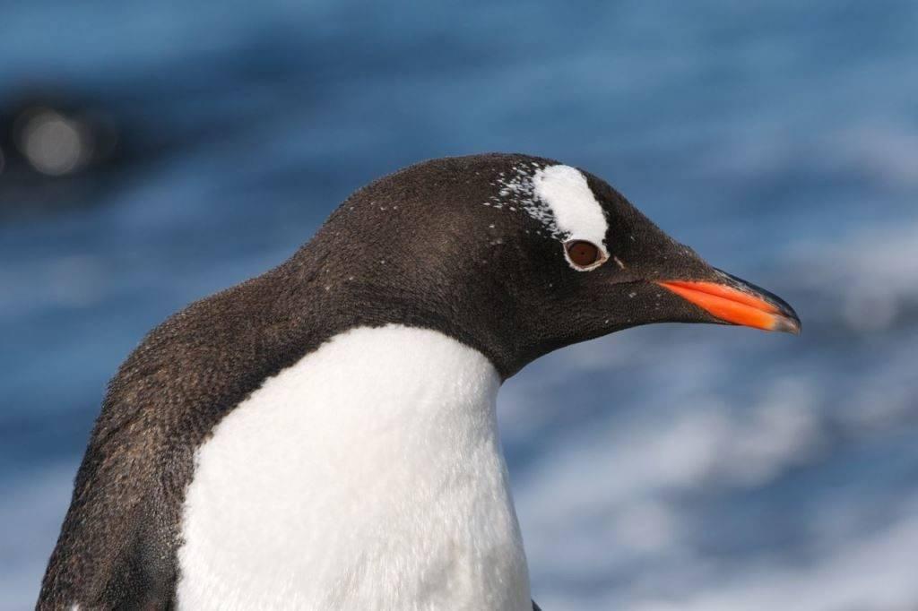 Голова и клюв пингвина фото