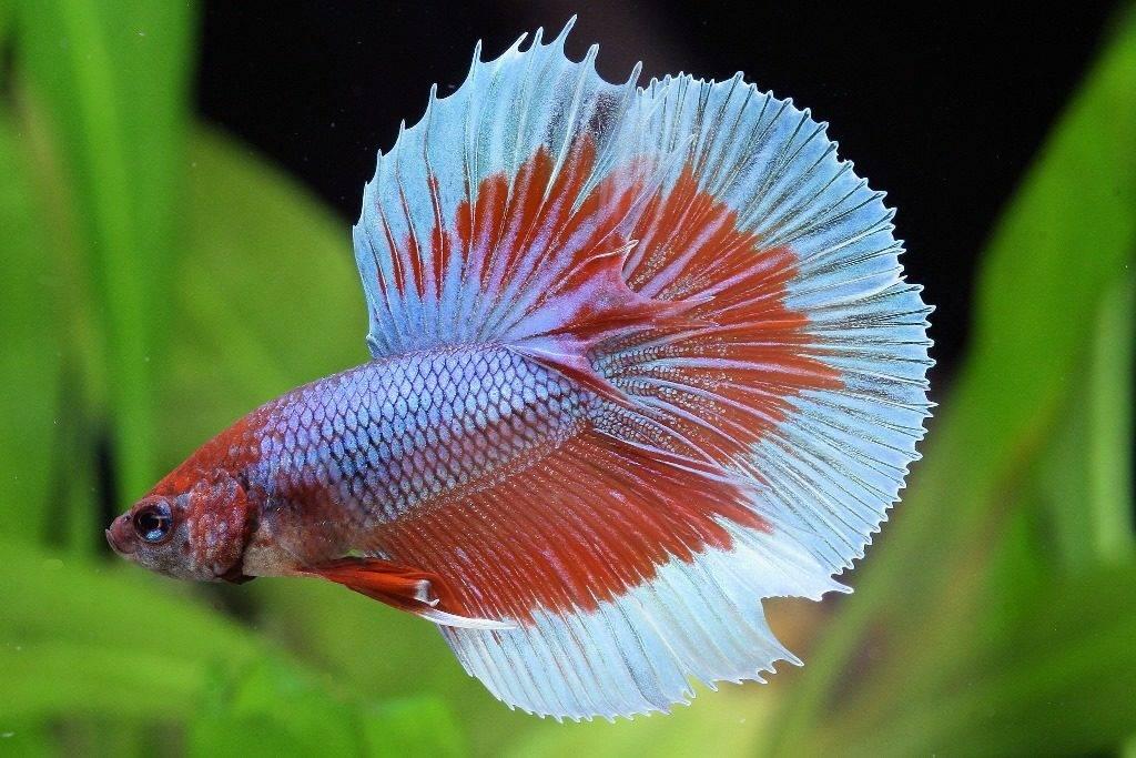 Двуцветная аквариумная рыбка петушок фотоа петушок фото