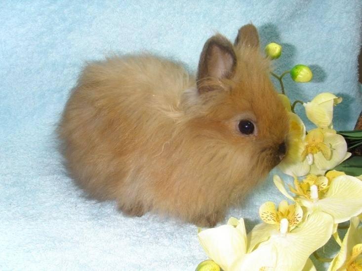 Декоративный кролик Карликовая лиса фото