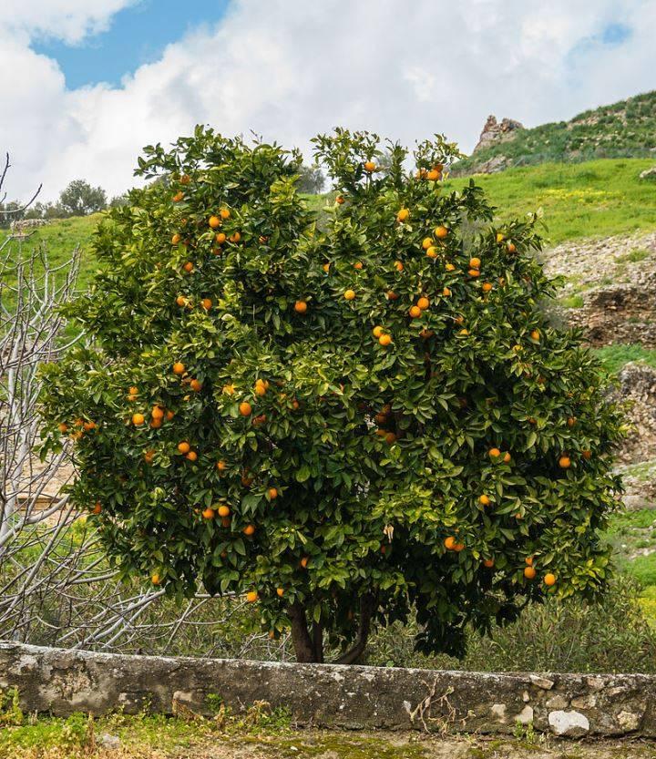 Дерево мандарина фото