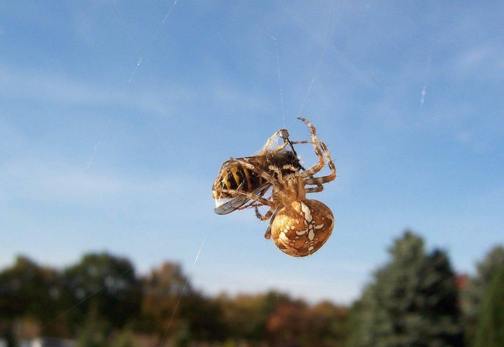 Что ест паук-крестовик фото