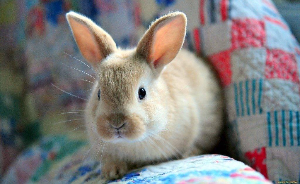 Домашний кролик фото