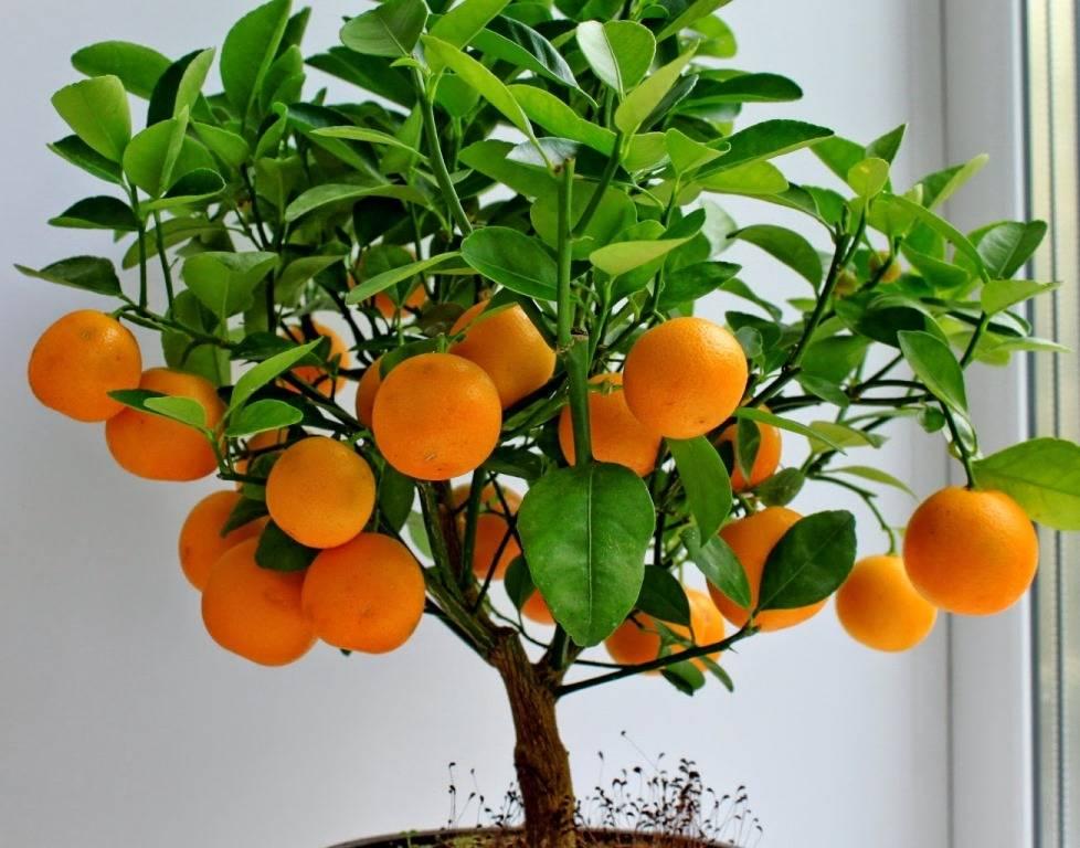 Домашний мандарин фото