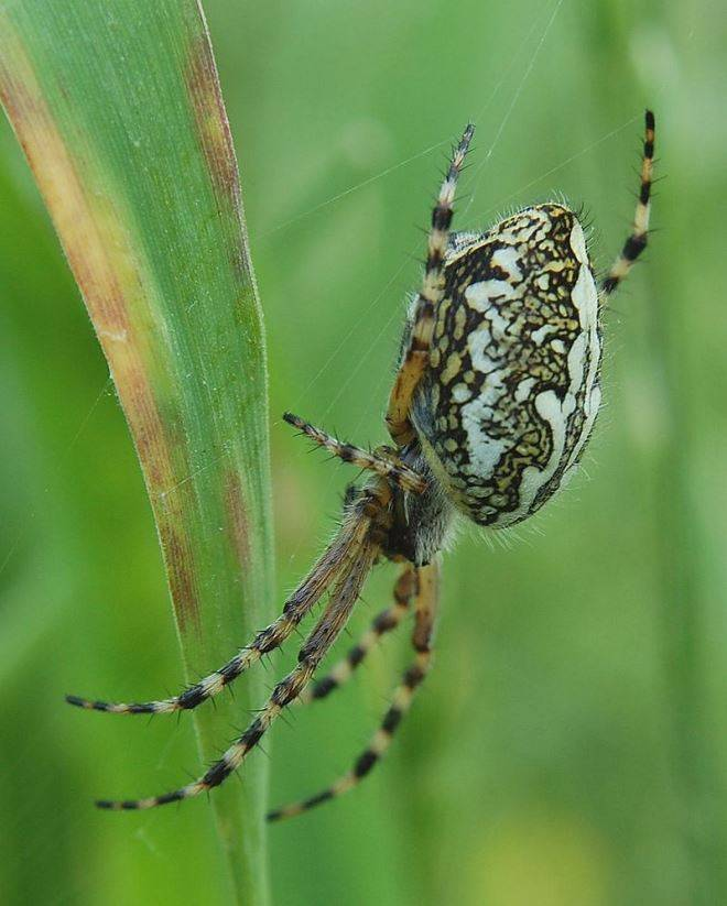 Дубовый паук-крестовик (лат. Araneus ceropegius, Aculepeira ceropegia) фото