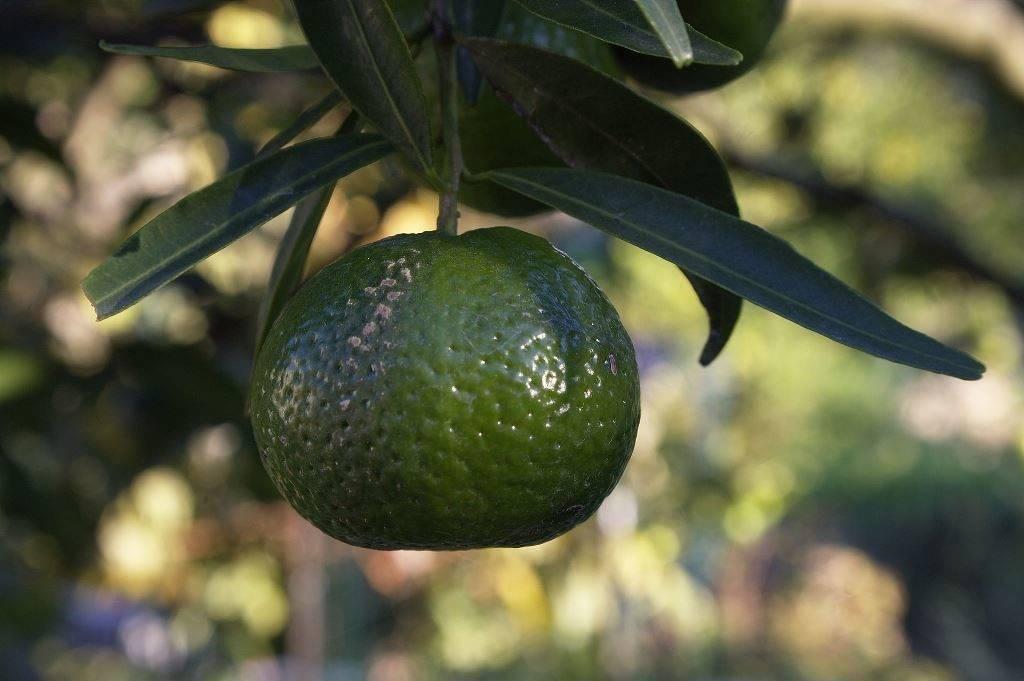 Зеленый мандарин фото