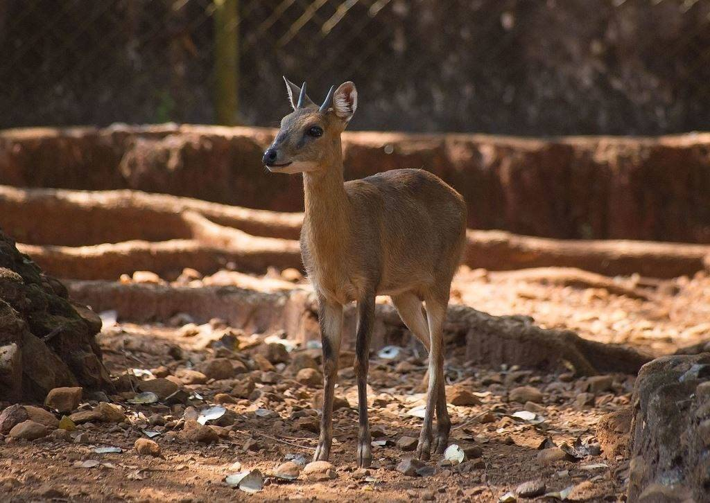 Индийская четырехрогая антилопа фото