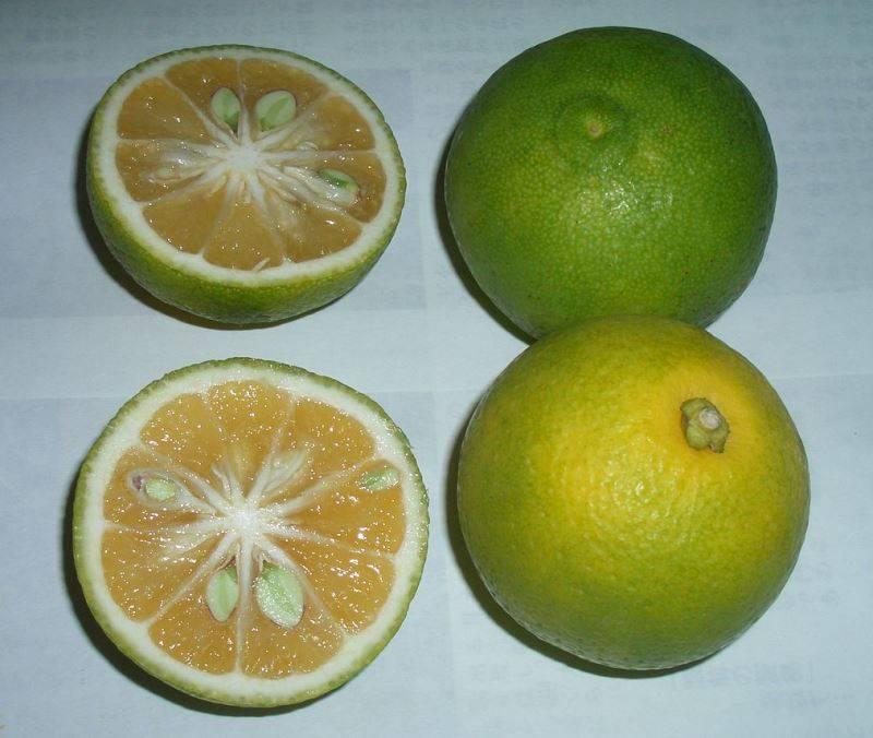 Кабосу (кабусу) фото (анг. Kabosu, лат. Citrus sphaerocarpa)
