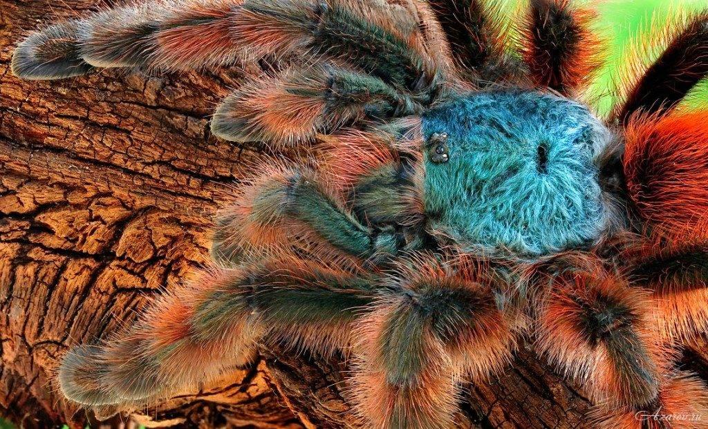 Как выглядит паук птицеед фото (вид Avicularia versicolor)