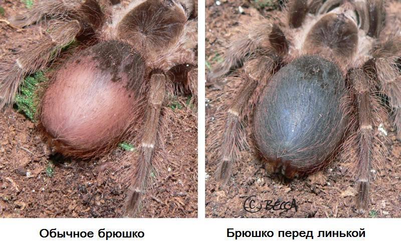 Как определить линьку паука-птицееда фото
