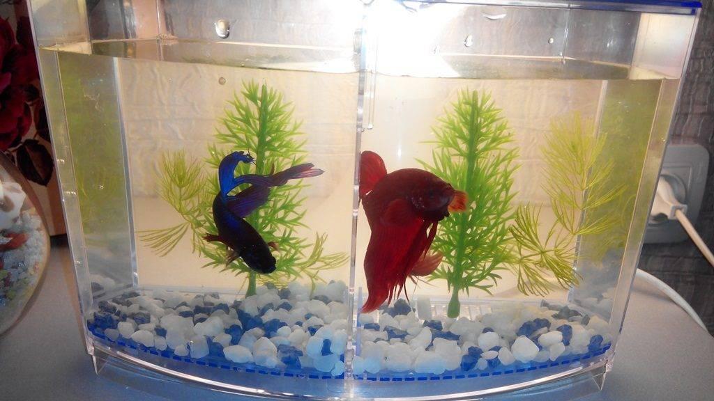 Как ухаживать за рыбками петушками фото