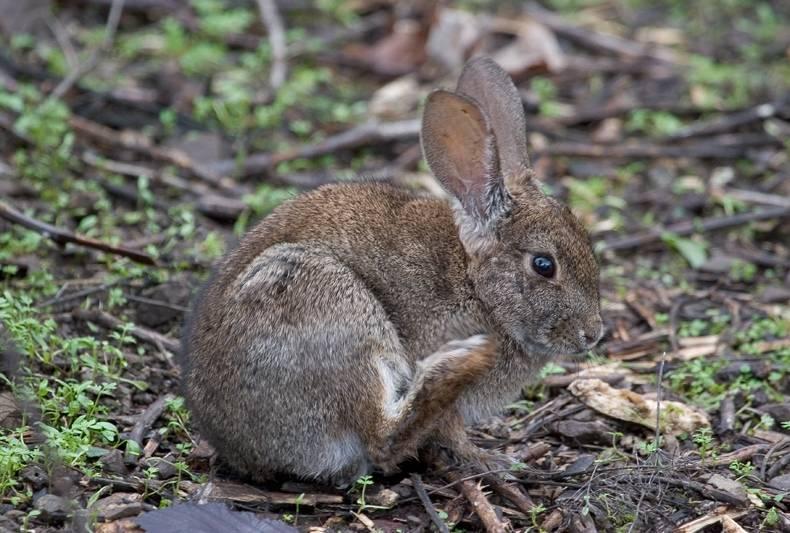 Калифорнийский кролик фото (лат. Sylvilagus bachmani)