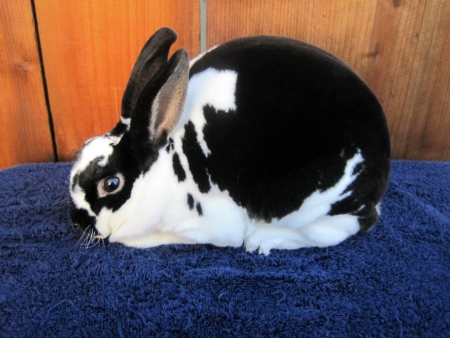 Карликовый кролик рекс фото
