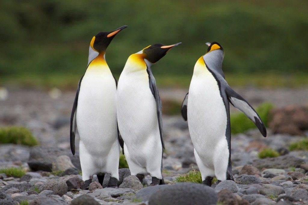 Королевский пингвин фото (лат. Aptenodytes patagonicus)
