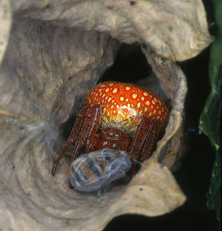 Крестовик зябкий (лат. Araneus alsine) фото