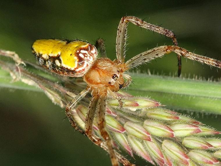 Крестовик Araneus bradleyi фото