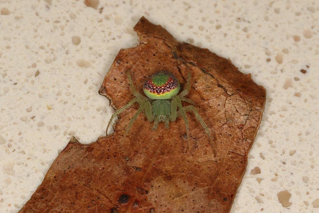 Крестовик Araneus circulissparsus