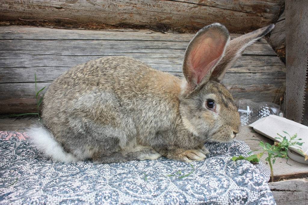 Кролик Фландр фото породы