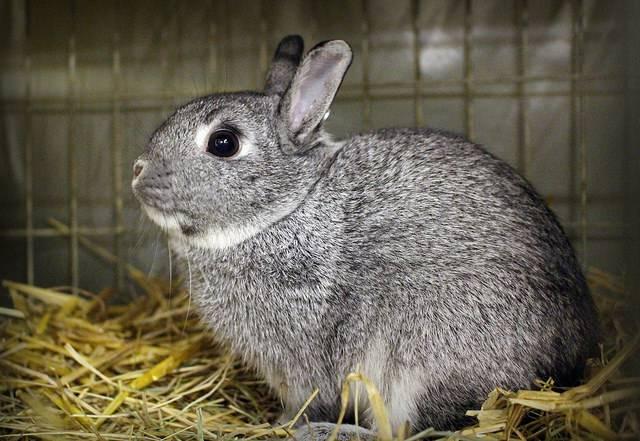 Кролик Шиншилла фото