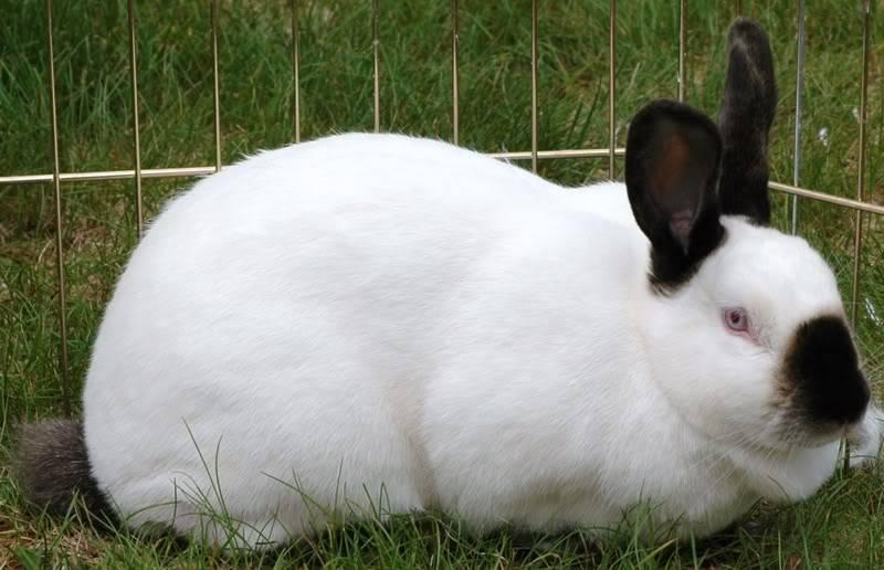 Кролик калифорнийской породы фото