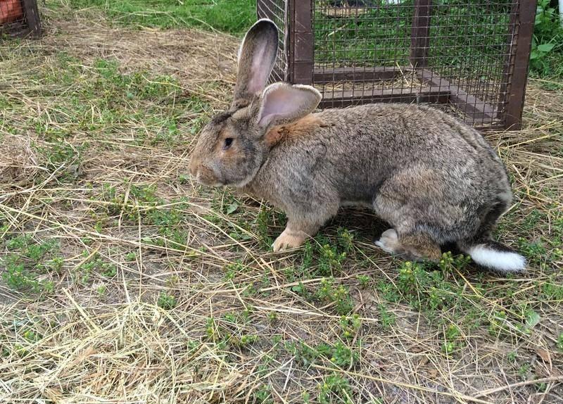 Кролик породы Ризен фото