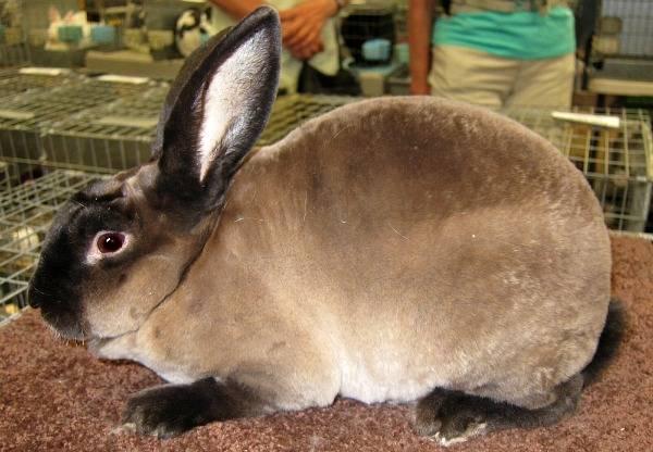 Кролик рекс фото породы
