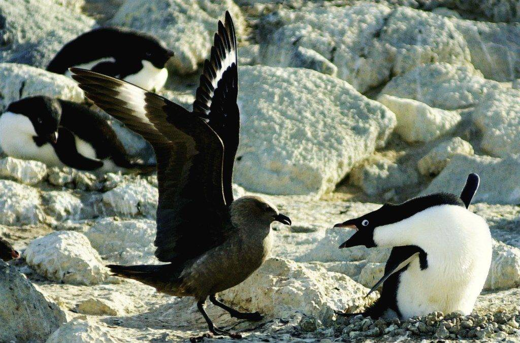 Кто ест пингвинов фото
