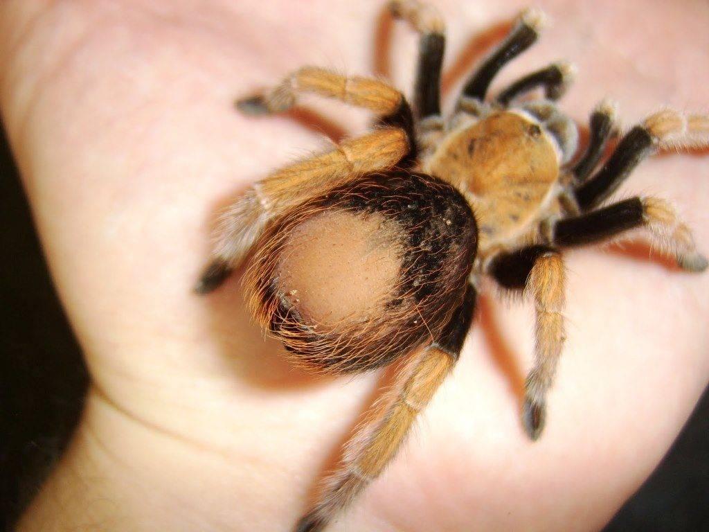 Лысина на месте счесанных с брюшка волосков паука-птицееда фото
