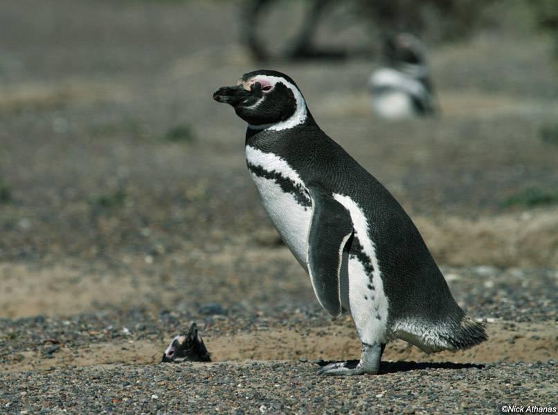 Магелланов пингвин фото (лат. Spheniscus magellanicus)