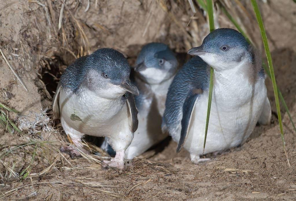 Малый пингвин фото (лат. Eudyptula minor)