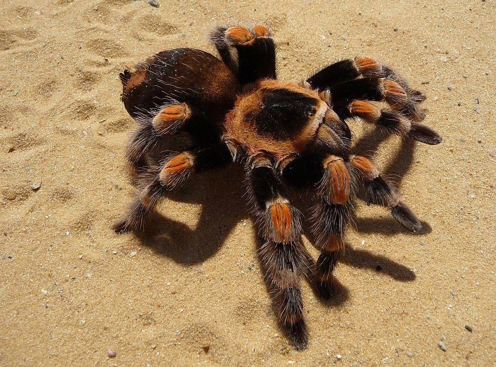 Мексиканский красноколенный паук-птицеед фото (брахипельма смита) (лат. Brachypelma smithi)