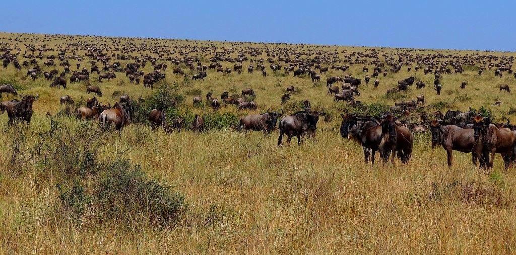 Миграция антилоп гну фото