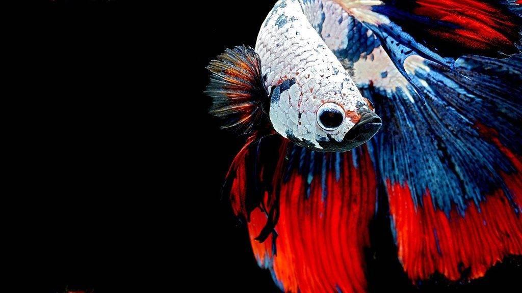 Многоцветный сиамский петушок фото