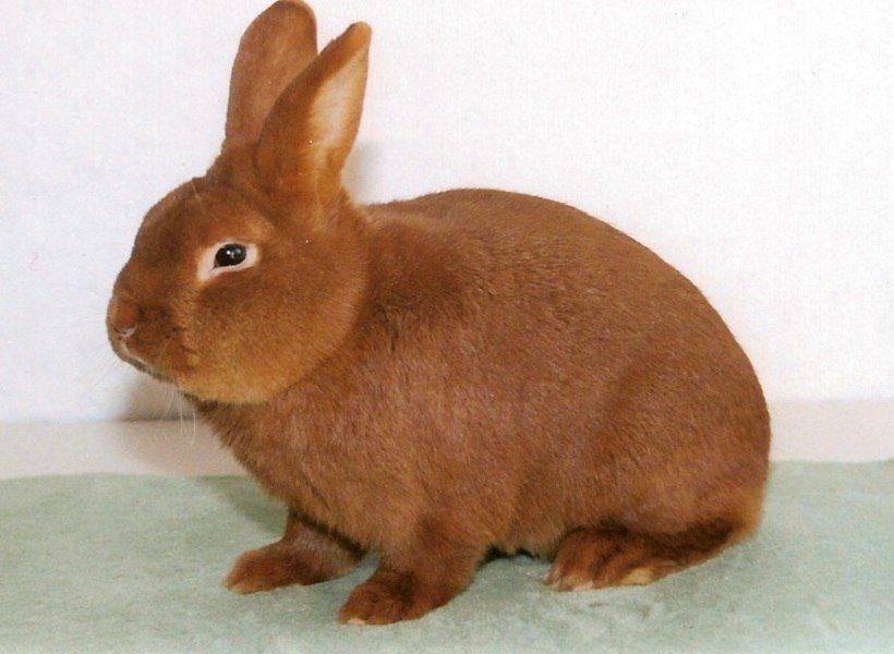 Новозеландский красный кролик фото