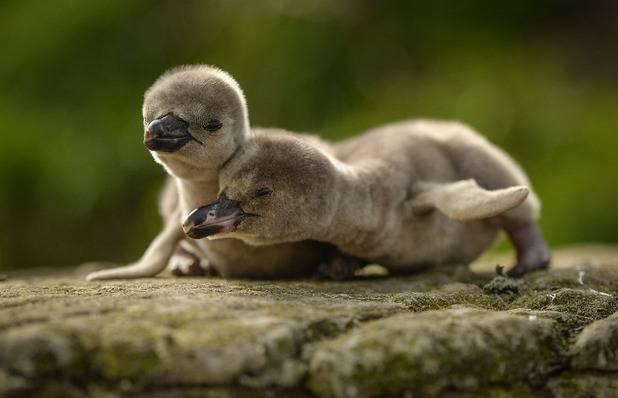 Новорожденный пингвин фото