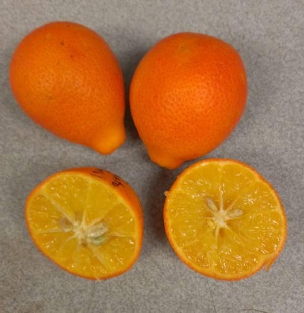 Оранжекват фото (анг. Nippon orangequat)