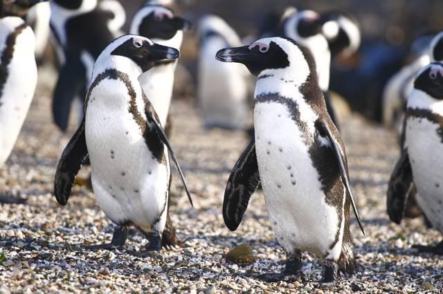 Очковый пингвин (ослиный пингвин, черноногий пингвин, африканский пингвин) фото (лат. Spheniscus demersus)