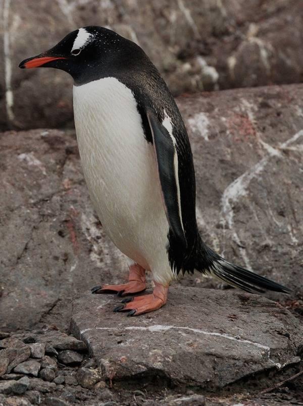 Папуанский пингвин фото (лат. Pygoscelis papua)