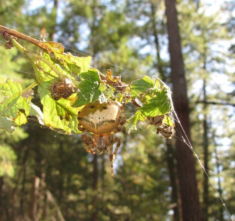 Паук-крестовик Araneus gemmoides фото