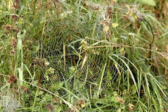 Паутина паука-крестовика фото