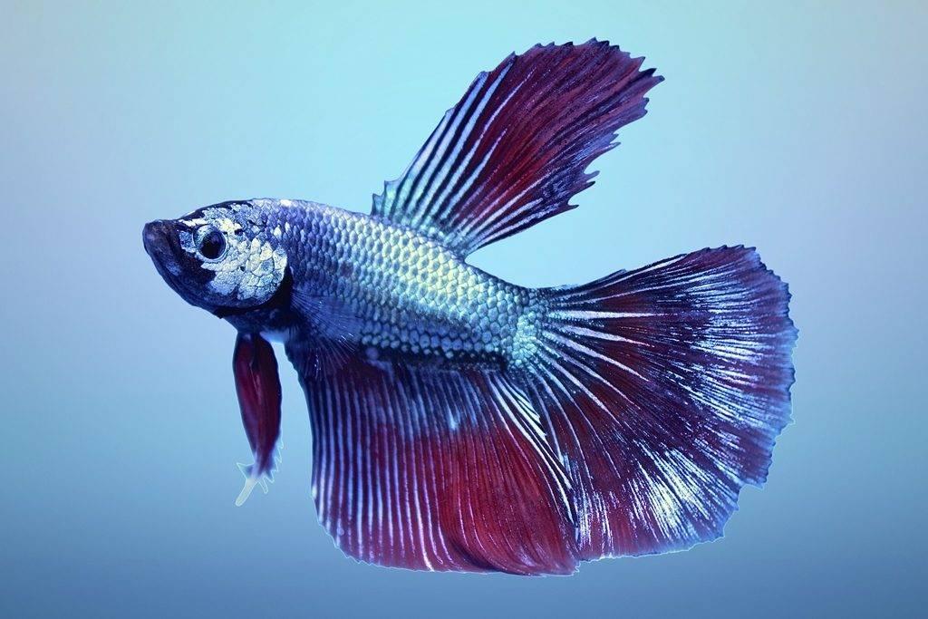 Рыбка петушок Дельта (дельтахвостый) самец фото