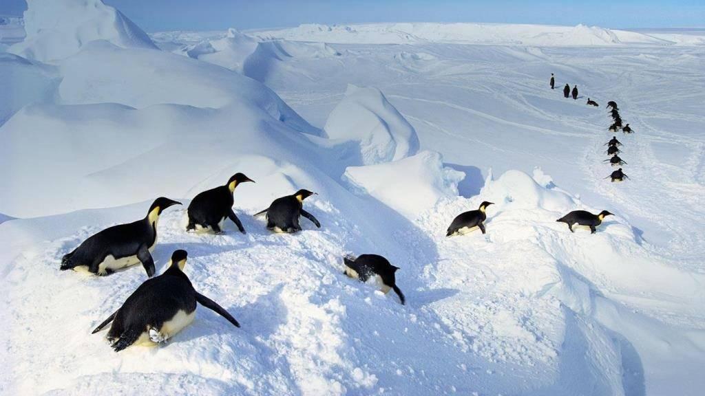 Пингвин катается на животе фото