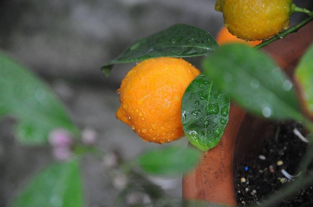 Рангпур фото (лат. Citrus rangpuriensis)
