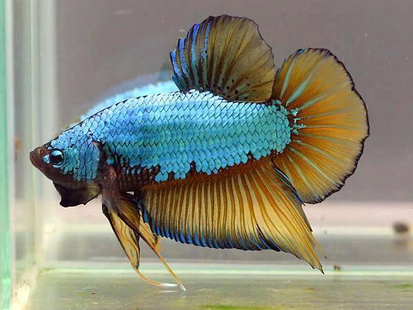 Рыбка петушок Дракон фото