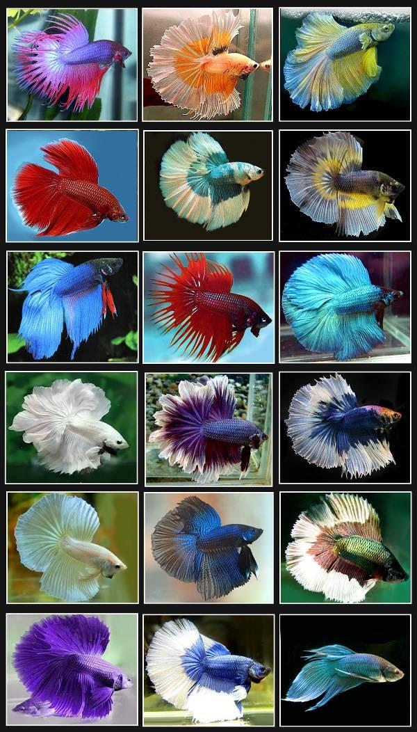 Рыбка петушок фото и виды