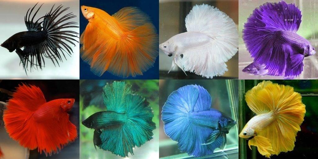 Рыбки сиамские петушки однотонного окраса фото